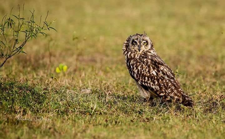 குட்டைக்காது ஆந்தை Short Eared Owl