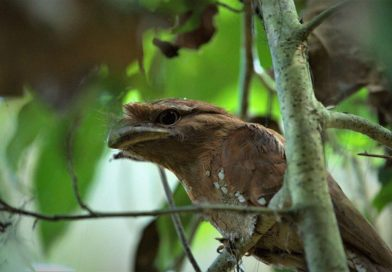 இலங்கை Frogmouth