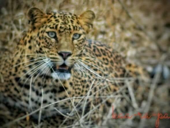 சிறுத்தை – Leopard