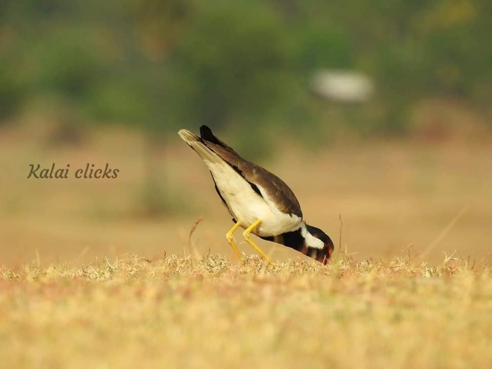 Red-wattled Lapwing-eating