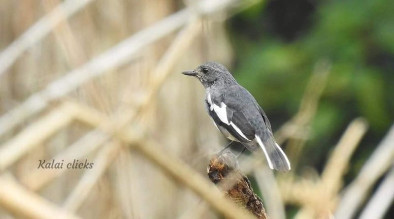 தினம் ஒரு பறவை – சிட்டுகள் (Robins and Bushchat)