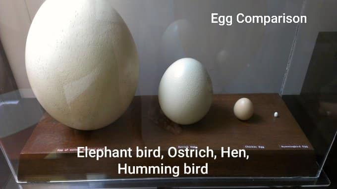 elephant bird egg size and comparison