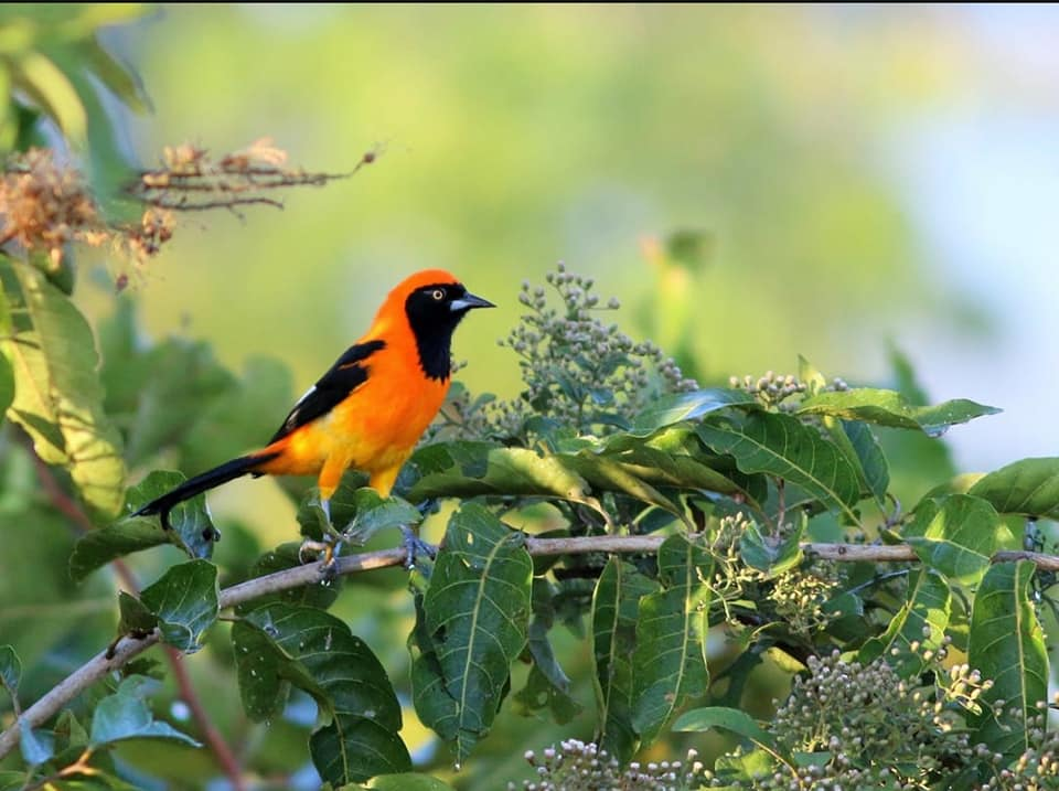 Orange-backed-troupial-on-tree