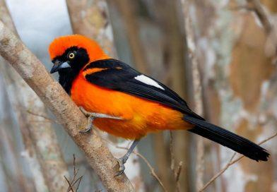 Orange-backed troupial-sitting