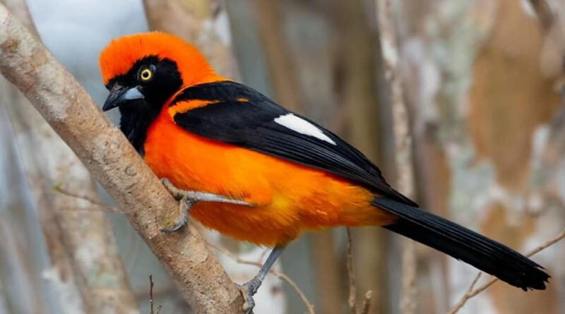 Orange-backed troupial-sitting