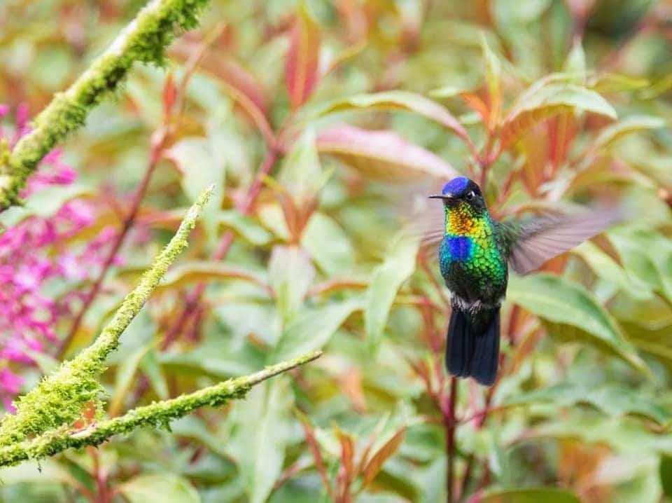 தேன் சிட்டு Fiery-throated hummingbird